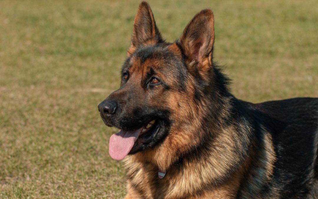 Breed Profile: German Shepherd